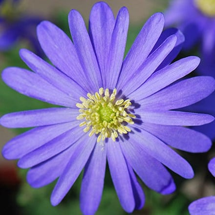 Anemone blanda blue-flowered - XL Landscaping pack