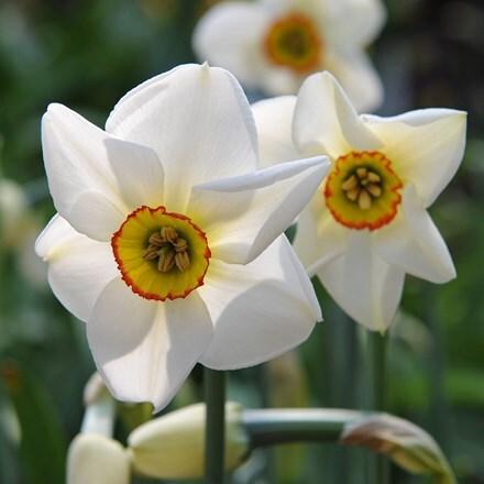 Narcissus poeticus var. recurvus - XL Landscaping pack