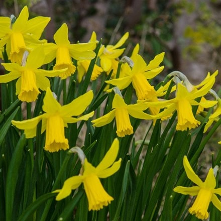 Narcissus February Gold- XL Landscaping pack