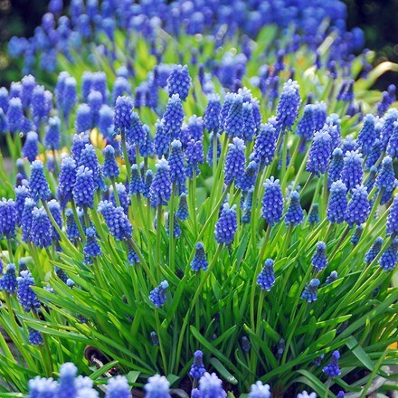 Muscari armeniacum - XL Landscaping pack
