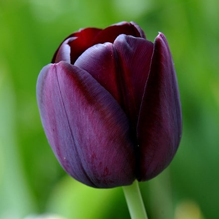 Tulipa Queen of Night - XL Landscaping pack