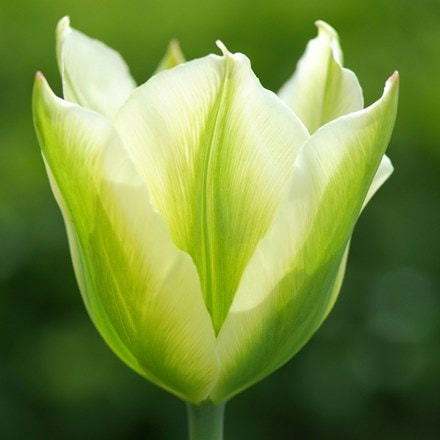 Tulipa Spring Green - XL Landscaping pack