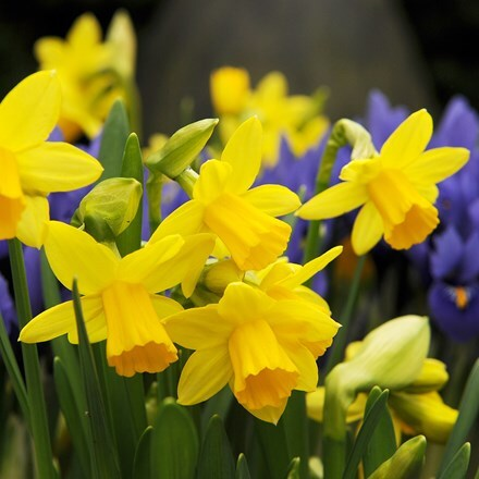 Narcissus Tete a Tete - XL Landscaping pack