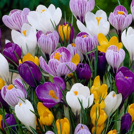 Crocus Mixed - XL Landscaping pack