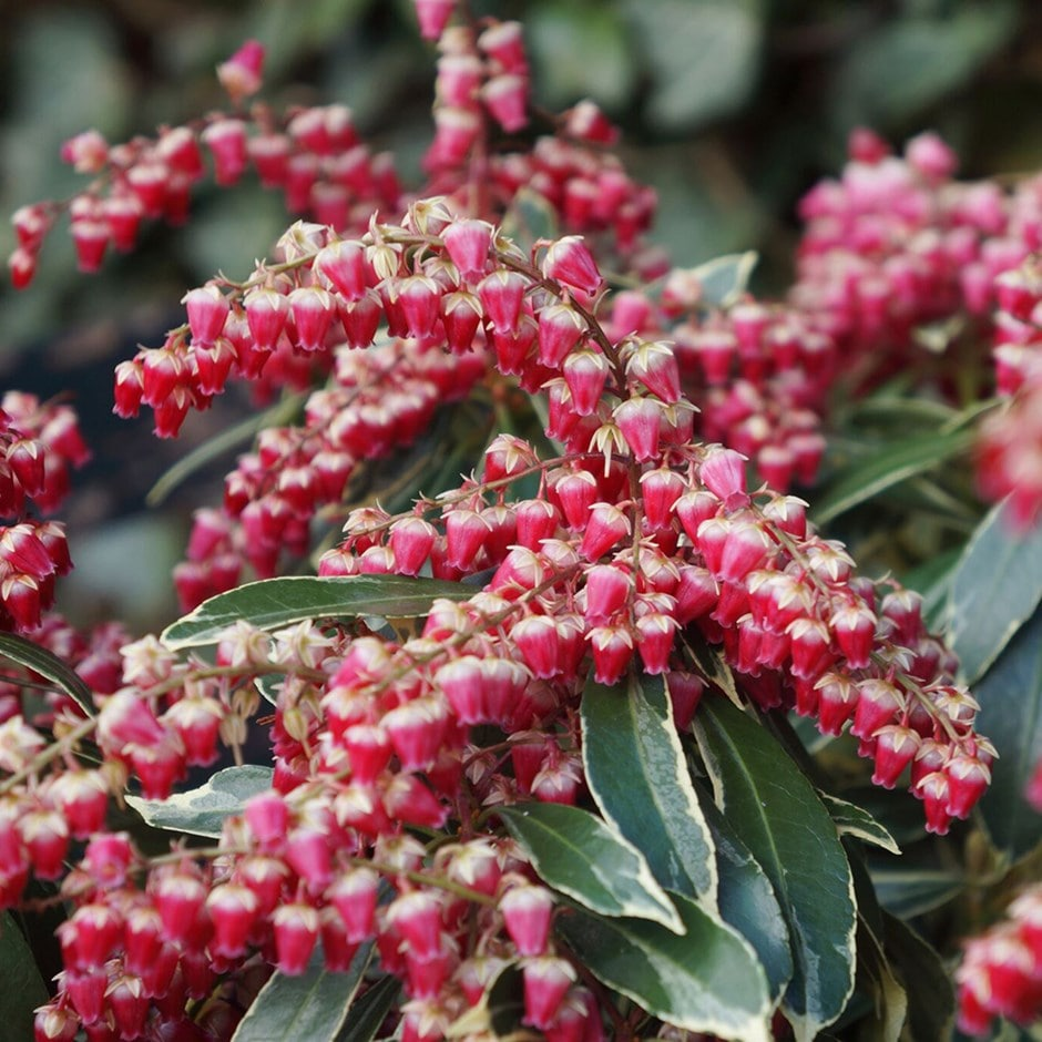 Buy Lily Of The Valley Shrub Pieris Japonica Ralto Pbr