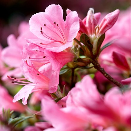 Rhododendron Madame Albert van Hecke