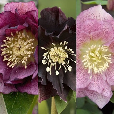 Helleborus × hybridus Double Ellen collection
