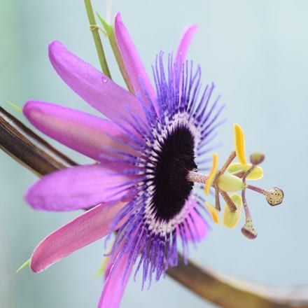 Passiflora Amethyst Lavender Lady