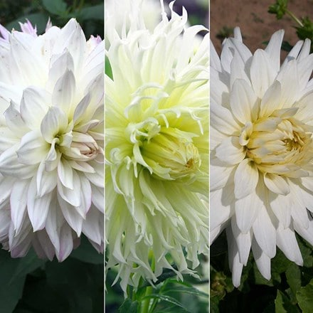 Whites & creams dahlia collection