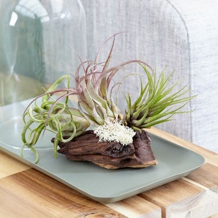 Tillandsia on bog wood