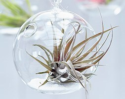 air plant / Tillandsia capitata Peach