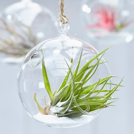 Tillandsia multiflora in a hanging glass globe
