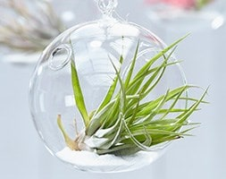 air plant / Tillandsia multiflora