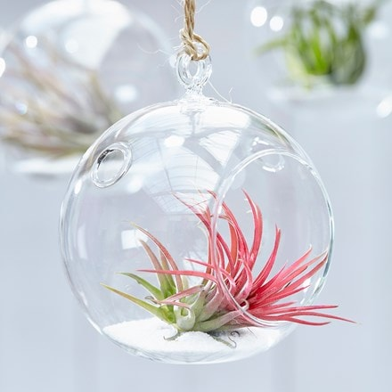 Tillandsia ionantha in a hanging glass globe