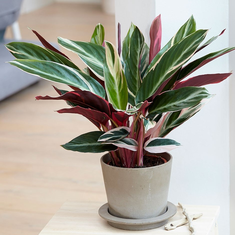 Buy Calathea Calathea Triostar 163 19 99 Delivery By Crocus