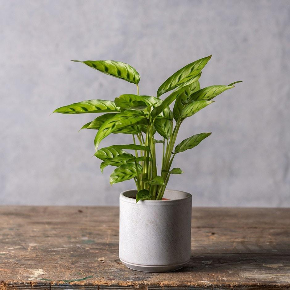 Buy Calathea Calathea Leopardina 163 12 99 Delivery By Crocus
