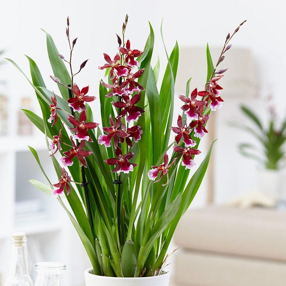Buy Cambria Orchid Cambria Lazio Delivery By Crocus