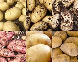 baby new potato collection