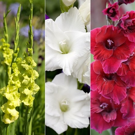Gladiolus for cutting collection