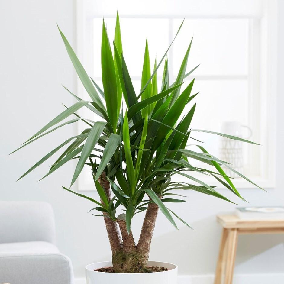 spineless yucca