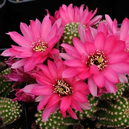× Chamaelobivia Pink