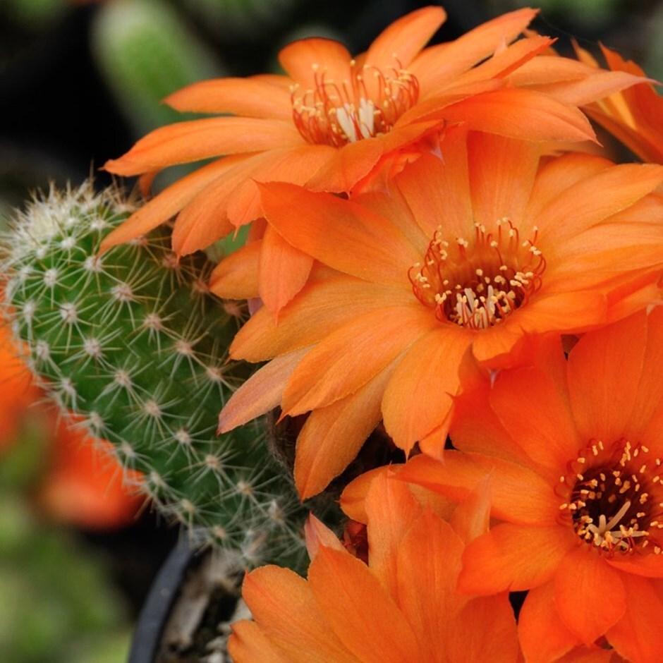 cactus orange