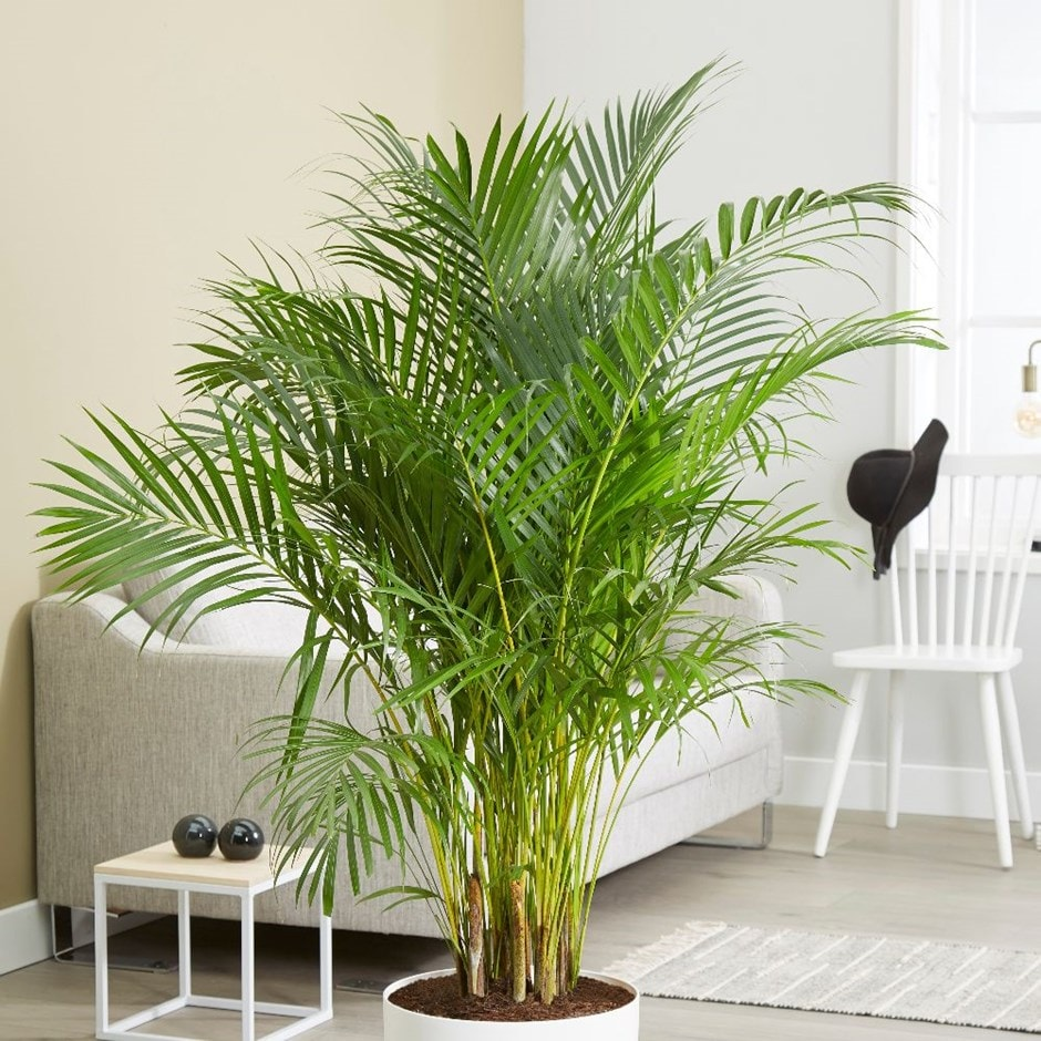 areca palm or bamboo palm