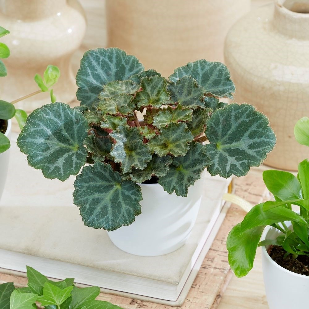 Buy Mother Of Thousands Saxifraga Bottle Garden Terrarium Plant