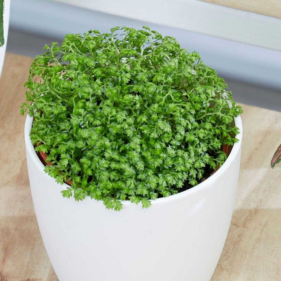 Buy Creeping Moss Selaginella Bottle Garden Terrarium Plant 5 49