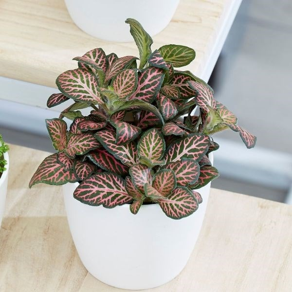 Fittonia Bottle garden  / terrarium plant
