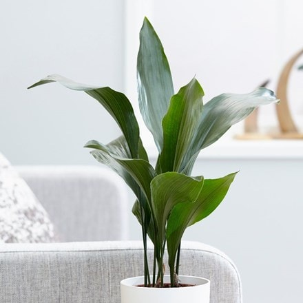 aspidistra or cast iron plant
