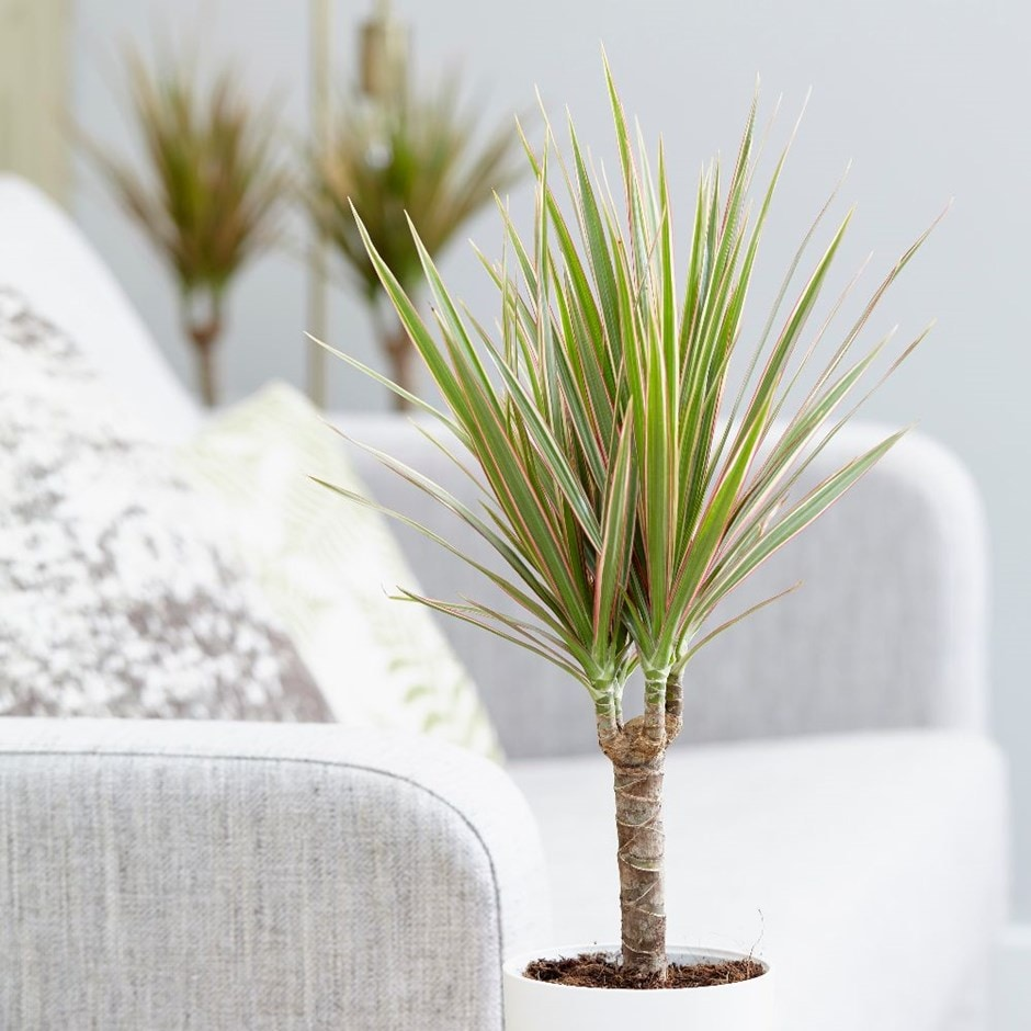 "Picture of Live Dracaena BiColor aka Dracaena marginata Bi-Colour Plant Fit 4"" Pot"