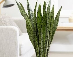 mother-in-law's tongue / snake plant