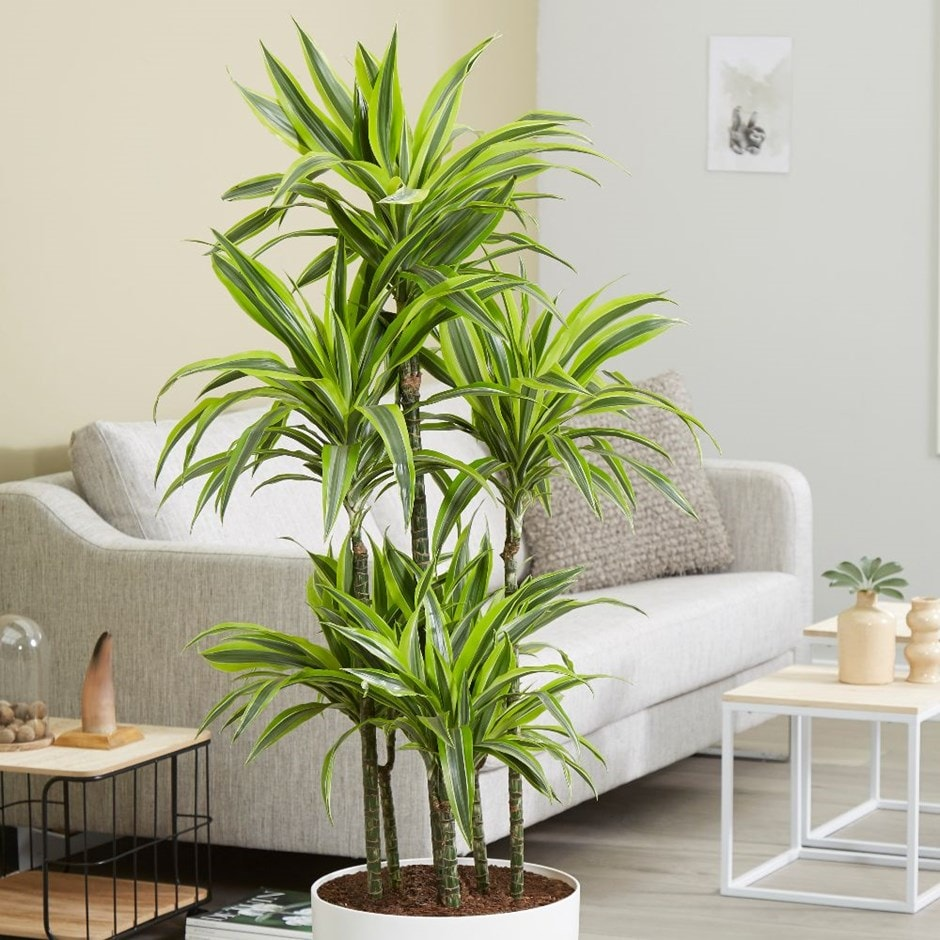 Buy dragon plant dracaena fragrans deremensis group for Buy a lemon tree plant