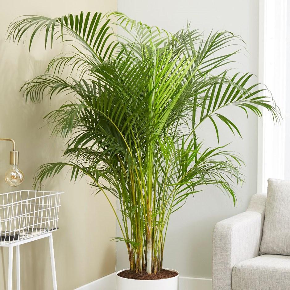 areca palm / bamboo palm
