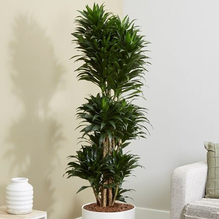 Dracaena fragrans Compacta Group