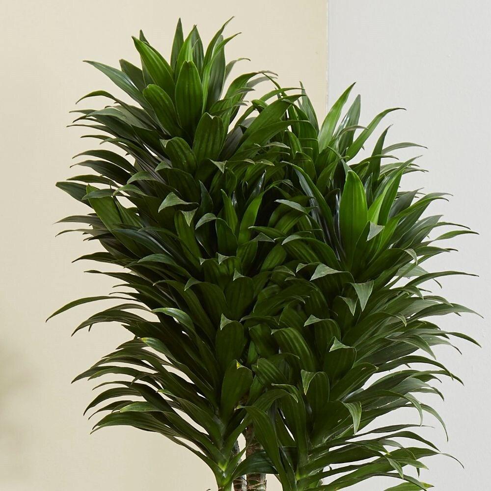Buy Dragon Tree Dracaena Fragrans Compacta 163 329 99