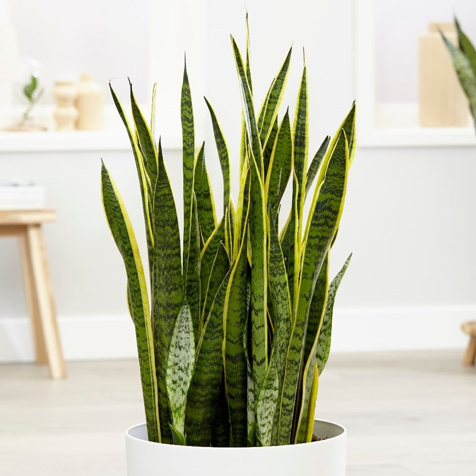 mother-in-law's tongue / variegated snake plant