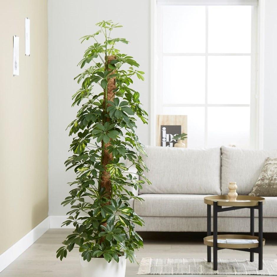 Umbrella Christmas Tree Uk.Schefflera Arboricola Gold Capella