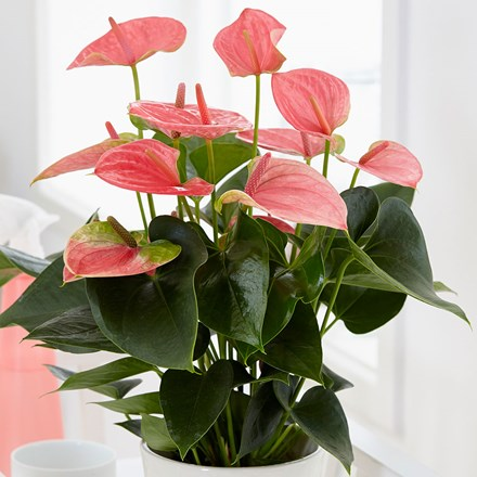 Anthurium Pink Champion ('Antinkeles') (PBR)