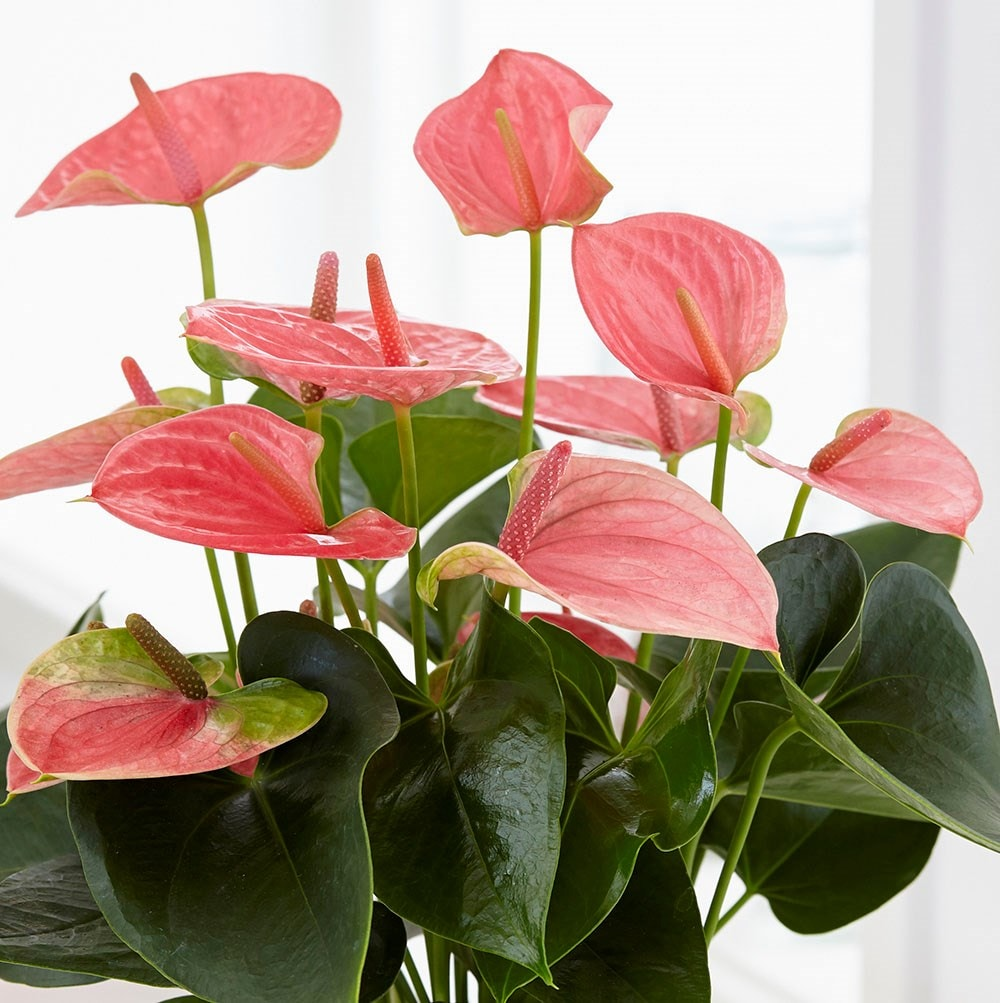 Buy Flamingo Flower Anthurium Pink Champion Antinkeles Pbr