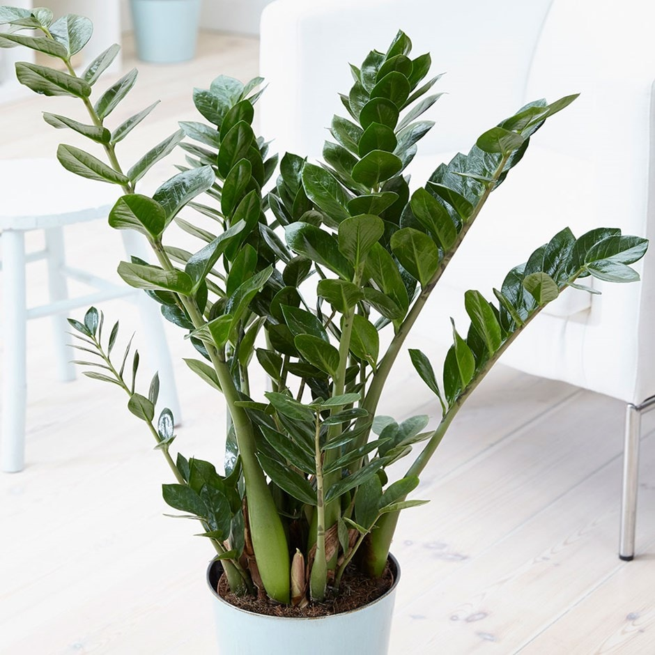 Buy fern arum zamioculcas zamiifolia delivery by for Plante zamioculcas