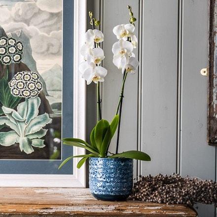 Phalaenopsis grandiflorum White