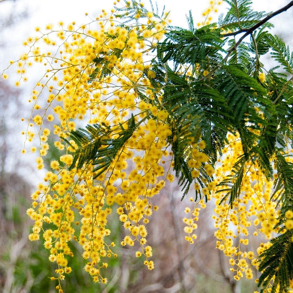 Flower Shop Near Me Australian Acacia Tree With Yellow Ball Shaped