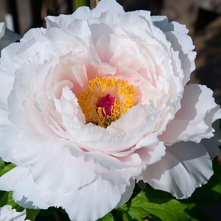 Paeonia White