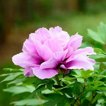 Paeonia Purple