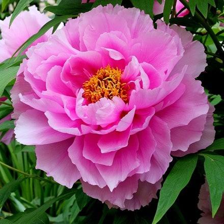 Paeonia Pink