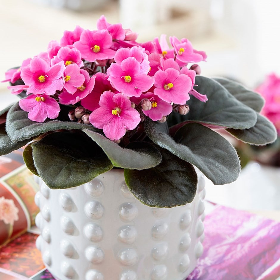 Buy African Violet Saintpaulia Amy Pink Delivery By