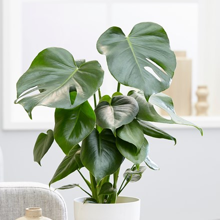 Medium 40cm - swiss cheese plant