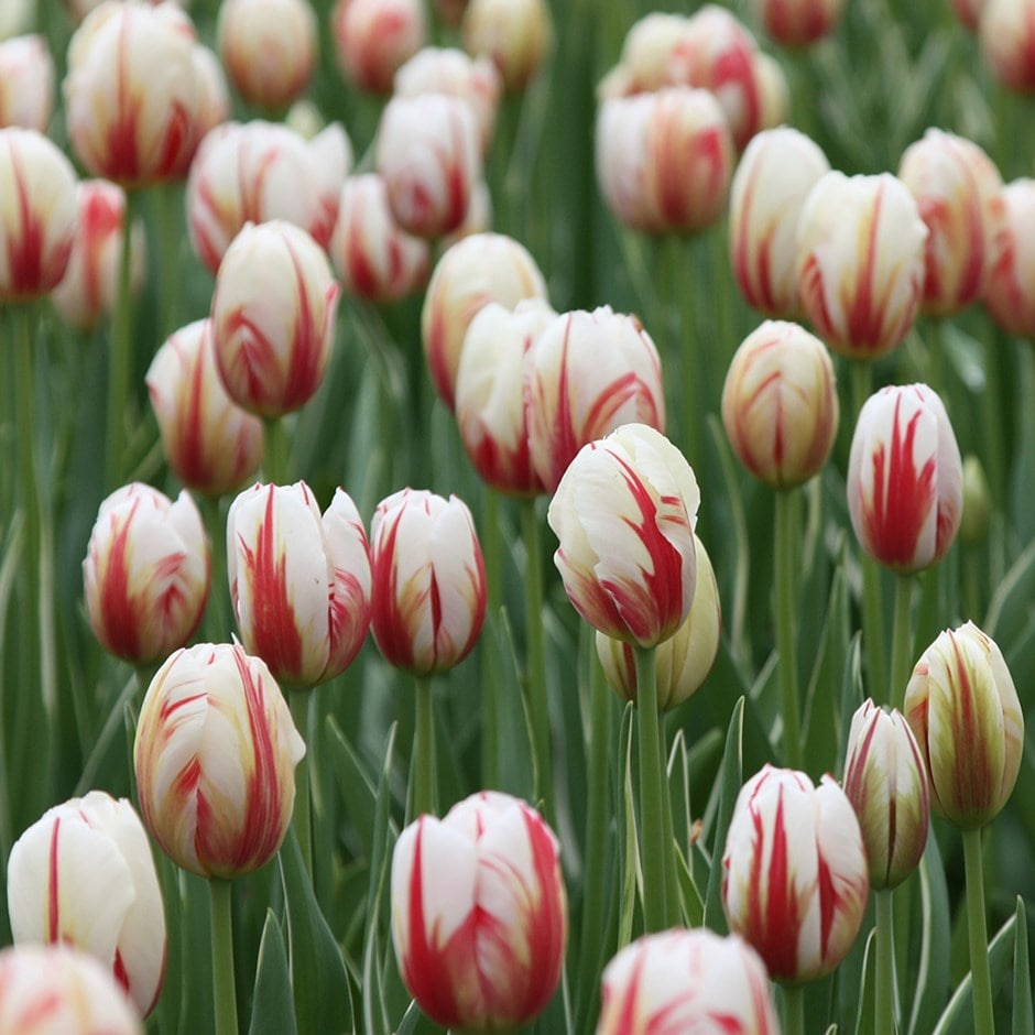 15a30b43ccea Buy triumph tulip bulbs (syn Carnival de Rio) Tulipa Carnaval de Rio ...